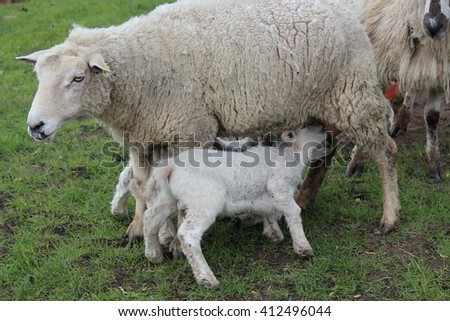 Spring Lambs and Sheep in Green Grassy Meadow, Yorkshire.