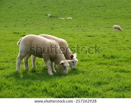 Spring Lambs Graze in a Green Field - stock photo