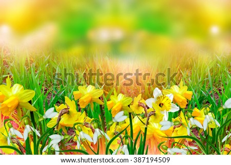 Spring landscape beautiful spring flowers daffodils stock photo spring landscape beautiful spring flowers daffodils yellow flowers mightylinksfo