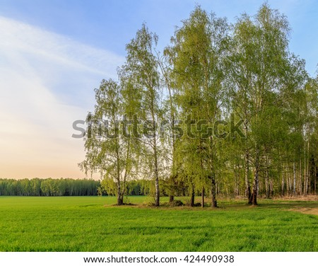 Spring landscape, birch on the edge of the field, the green shoots of wheat