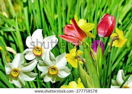 Spring landscape. blooming daffodils - stock photo