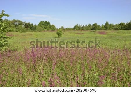 Spring landscape. Carnation field. - stock photo