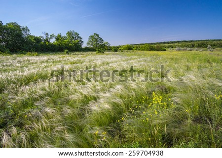 Spring landscape, field of feather grass under the blue sky - stock photo