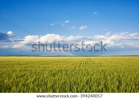 spring landscape - green grass wheat field and blue sky
