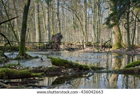 Spring landscape of old forest and broken trees lying in water,Bialowieza forest,Poland,Europe