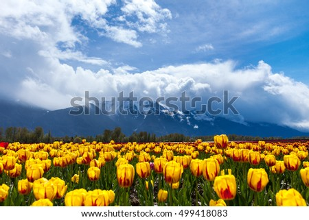 Spring Landscape, Tulip Flower Field in Agassiz BC Canada