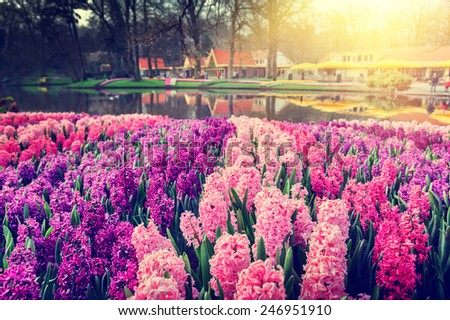 Spring landscape with beautiful hyacinths - stock photo
