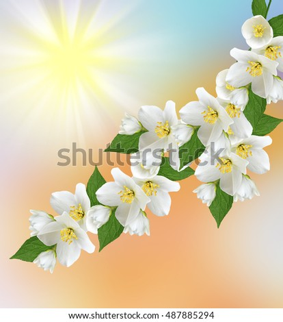 Spring landscape with delicate jasmine flowers. nature