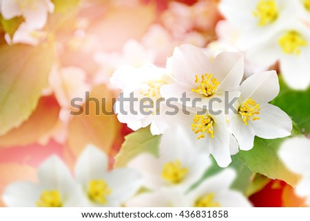 Spring landscape with delicate jasmine flowers. White flowers - stock photo