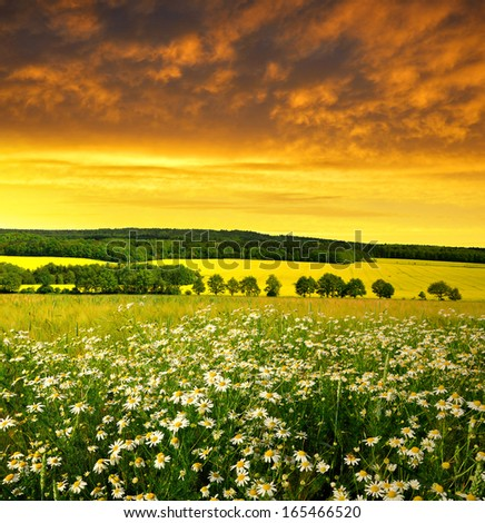 Spring landscape with field of marguerites in the sunset