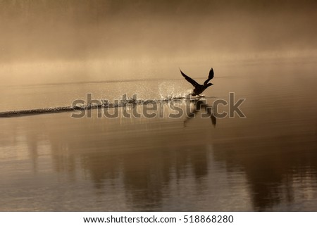 Spring landscape with Loon (misty morning). Bird were scattered on water of lake in misty forest (reflection in water). Picture has artistic value. Art style of photo. HDR-filter