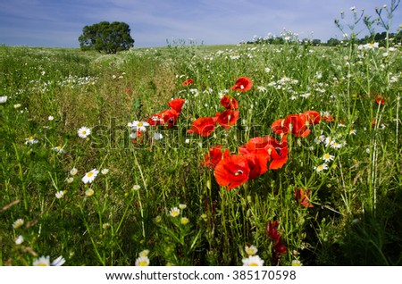 Spring landscape with meadow covered by red poppies and alone tree - stock photo