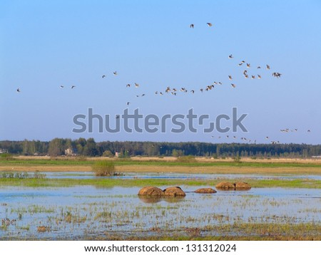 Spring landscape with migrating birds over the flooded field. - stock photo