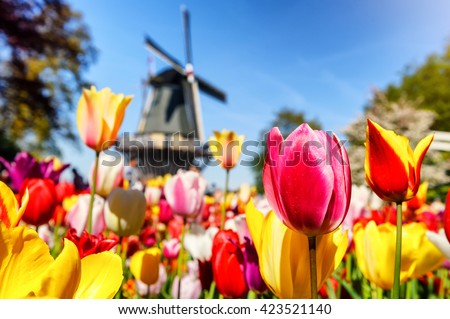 Spring landscape with multicolor tulips and dutch windmill - stock photo