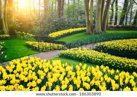 Spring landscape with yellow daffodils. Keukenhof garden, Netherlands  - stock photo