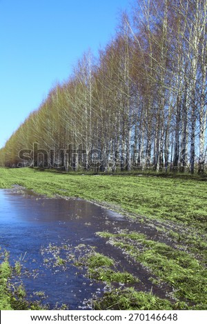 spring landscape young birch trees in a field with winter crops and melting snow on a sunny day - stock photo