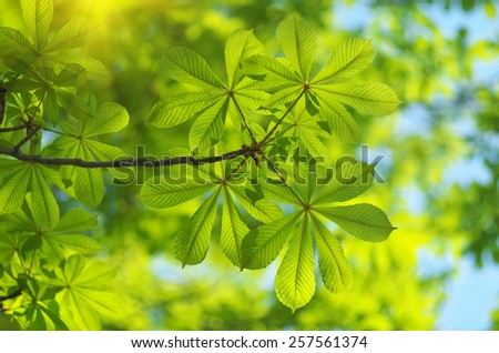 Spring leaf of chestnut. Nature composition. - stock photo