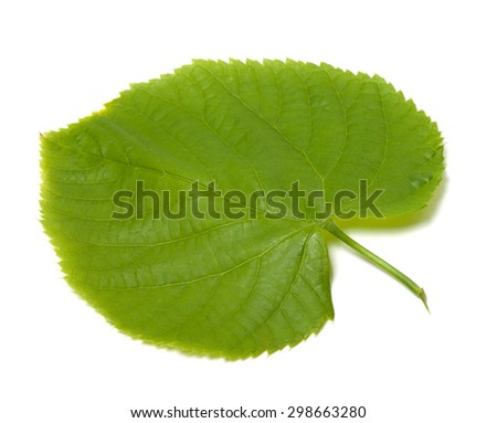Spring linden-tree leaf. Isolated on white background. - stock photo