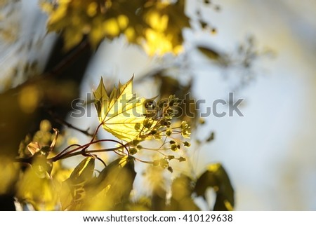 Spring maple leaf at dawn. - stock photo