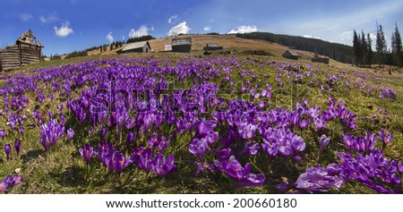 Spring, March, April, May and mountainous areas in the Carpathians, Tatras and the Alps are covered by a carpet of beautiful flowers crocus, crocuses. Delicate stalk and bell that stretches to the sun