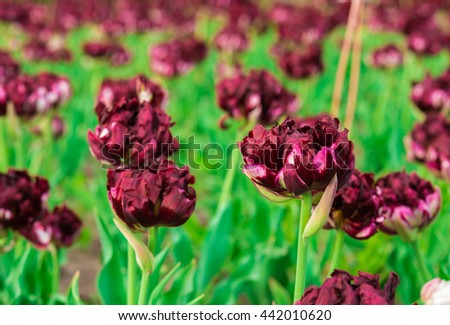 spring maroon color flowers dark red stock photo edit now
