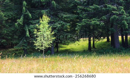 Spring meadow and aspen and fir trees - stock photo