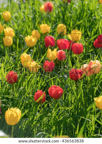 Spring meadow, lawn, field, garden nature background. Red, yellow tulips flowers blossoming and blooming background. Vivid, colorful, saturated nature landscape. Rural alpine lush grass and flowers. - stock photo