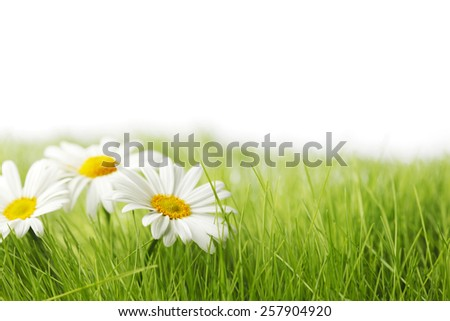 Spring meadow with daisies in grass isolated on white background - stock photo