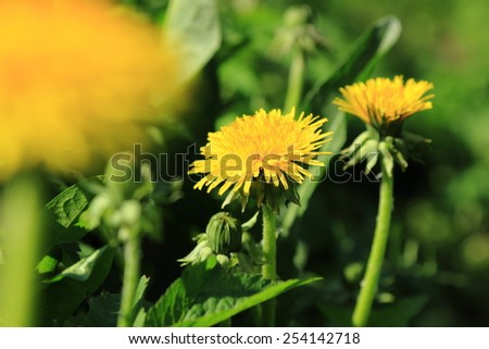 spring meadow with dandelions - stock photo