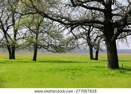 Spring meadow with oak trees - stock photo