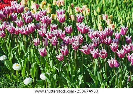 Spring meadow with violet tulip flowers, floral background - stock photo