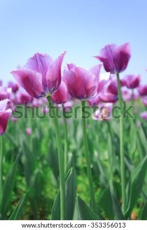 Spring meadow with violet tulip flowers, floral background