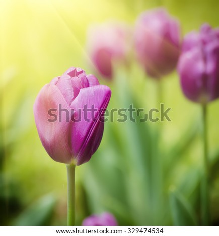 Spring meadow with violet tulip flowers, floral sunny background