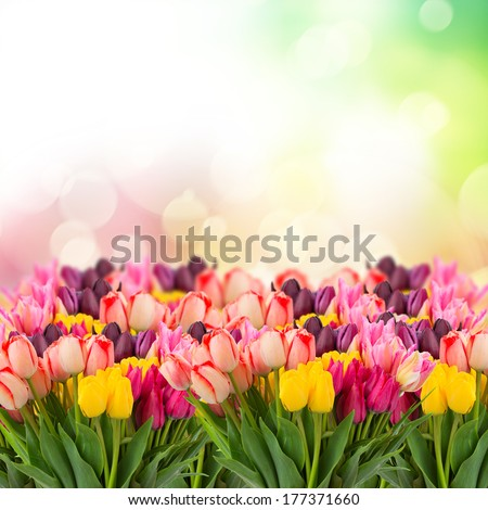 spring multicolored tulips on colorful bokeh   background - stock photo
