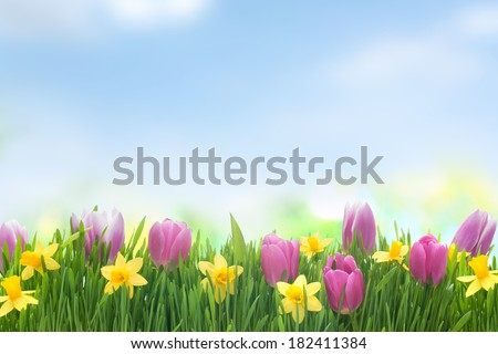 Spring narcissus and tulips flowers in green grass on blue sky background