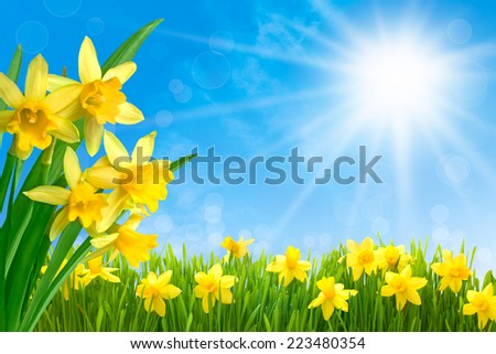 Spring narcissus flowers in green grass against sunny blue sky - stock photo