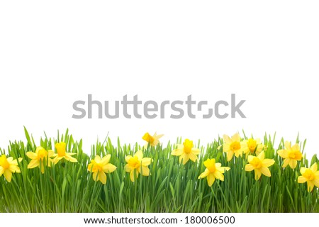 spring narcissus flowers in green grass isolated on white background - stock photo