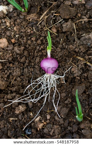 how to grow brown onions in soil