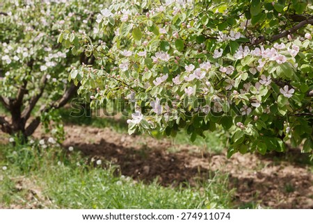 Spring orchard with blooming quince  on a sunny day   Flowers and buds on spring quinces trees in orchard.Natural blurred background. - stock photo