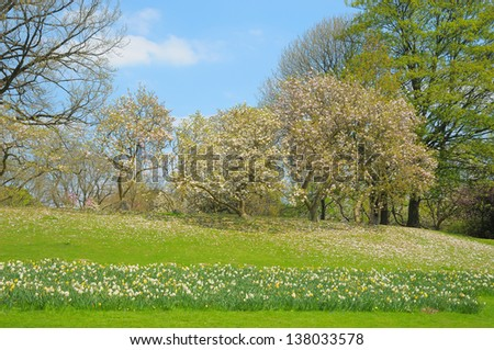 Spring parc in Brussels with narcissuses and blossoming magnolias in clear day - stock photo