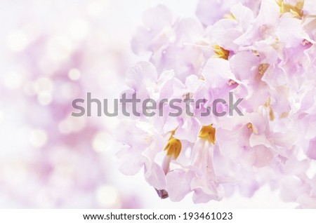 Spring Paulownia Flower Blossom Over Light Background