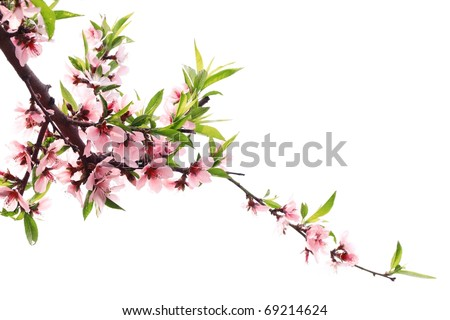 Spring peach blossom isolated on white - stock photo