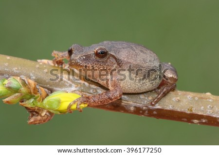 Spring Peeper (Pseudacris crucifer) on a forsythia branch with a yellow flower and a green background - stock photo