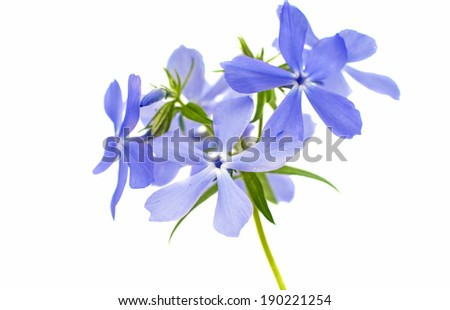 Spring phlox isolated on white background