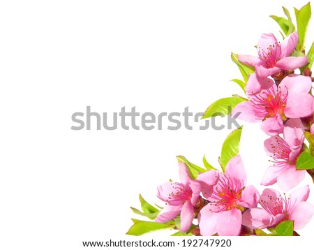 Spring pink blossom - stock photo