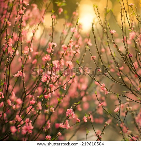spring pink cherry blooming with retro vintage tones - stock photo