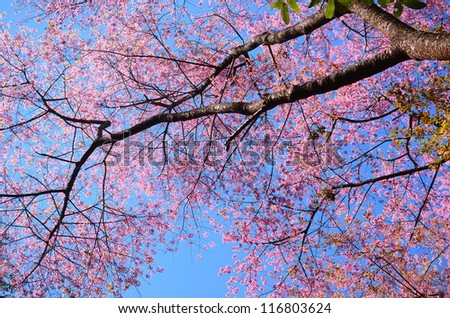 Spring Pink Cherry Blossoms with Blue Sky Background  - stock photo