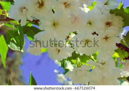 Spring Pink Cherry Blossoms with Blue Sky Background photo