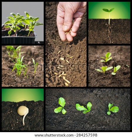 Spring planting seeds and seedlings into the soil. Gardening, growing vegetables and grains - stock photo