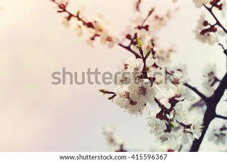 Spring plum flowers for background. Spring plum flowers in sun rays and bokeh